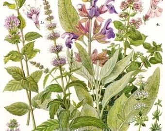 Peppermint Spearmint Marjoram Sage Thyme Herb Flower Plant Food Chart Botanical Lithograph Illustration For Your Vintage Kitchen 141