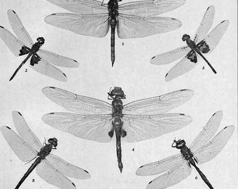 Dragonfly Chart 1907 Entomology Insects Vintage Natural History Rotogravure Edwardian Illustration XLII