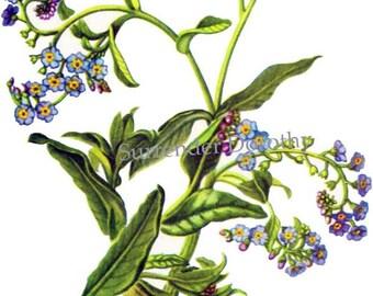 Forget Me Not Flower Myosotis Scorpiodes Vintage Botanical Lithograph 1950s Wildflower Art Print To Frame 164