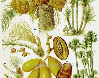 Date & Palmyra Palm Tropical Fruit Flower Chart Food Botanical Lithograph Illustration For Your Vintage Kitchen 107