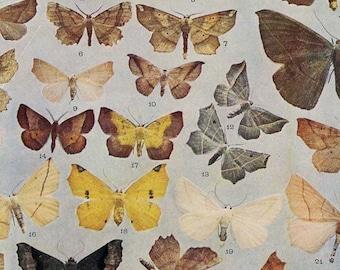 Gondontis Euchlean Priocyla Moths Entomology Natural History Rotogravure 1907 Edwardian Illustration XLV