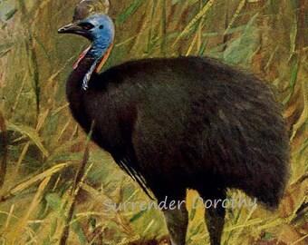 Cassowary Bird Australia New Guinea Edwardian Era 1911 Natural History Lithograph Illustration Germany To Frame