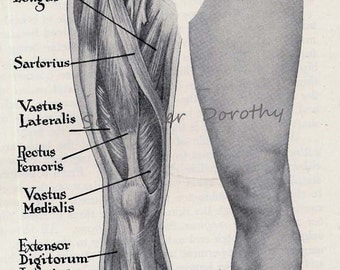 Leg & Foot Muscles Anterior Muscular System Human Anatomy Chart 1930s
