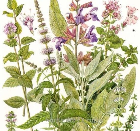 Peppermint Spearmint Marjoram Sage Thyme Herb Flower Plant