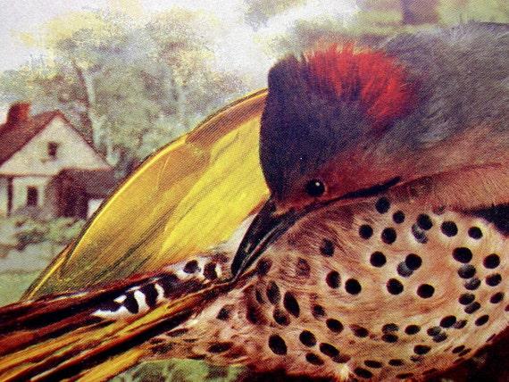 Flicker, 1897 Antique Colorized Bird Photograph Illustration
