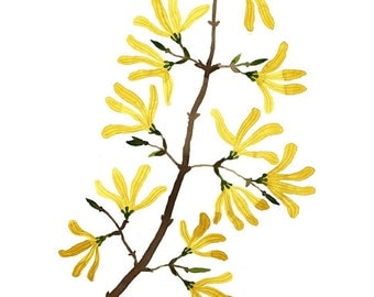 Forsythia Branch Print, botanical prints, botanicals, flower specimen, giclee art print, spring flowers illustration, watercolor