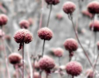 Botanical Photograph Pink Gray Flower Dreamy Garden Nature Floral Minimalist