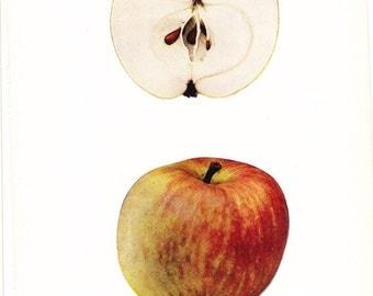 1905 Fruit Print - Salome Apple - Vintage Home Kitchen Food Decor Plate Plant Art Illustration Great for Framing 100 Years Old