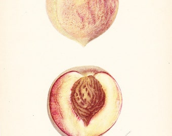 1905 Fruit Print - Everbearing Peach - Vintage Home Kitchen Food Decor Plant Art Illustration Great for Framing 100 Years Old