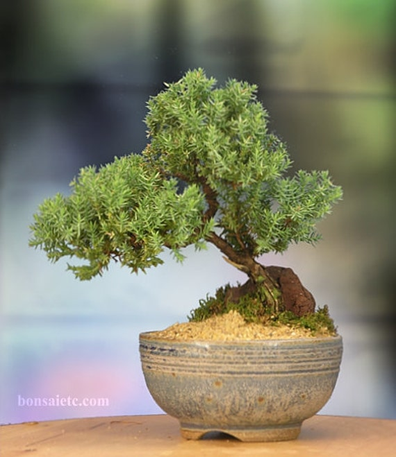 Japanese Juniper Bonsai in Handmade Japanese Setku Bowl