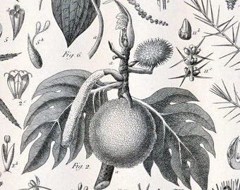 1851Antique Steel Engraving of Breadfruit, Fig, Chestnut, Black Oak, Cedar, and Other Trees. Plate 72