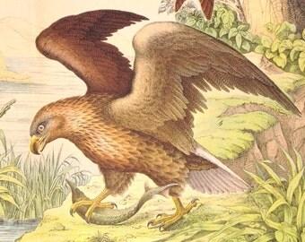 Antique Print of Eagles - Kites - 1889 Vintage Chromolithograph