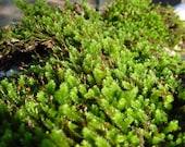 Cedar Bark Sheet Moss Quart Bag-Green Moss for tree branches-Live Moss