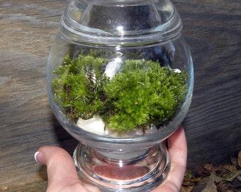 Elegant Simple Green Moss Terrarium-Pillow moss-Easy Care-White stones-Woodland Forest moss-Live Moss