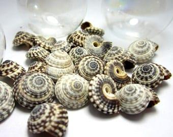 Nautical Decor Seashells - Beach Decor Heliacus Snail Shells for Crafts, 1 Dozen