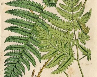 """Antique Botanical Print """"Fern Specimen 094"""" Vintage Floral Fine Art Woodland Print - Natural History Art Print"""