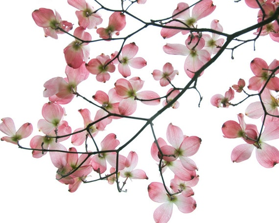 Flower Photo of a Dogwood titled Fragile -- Limited Edtions in Various Sizes