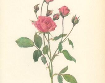 Orange Triumph, Eva, Vintage Rose Print, Botanical Print 103, Natural History, Blossom Art, 1966, Kaplicka, Country Cottage Decor