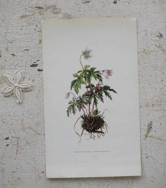 anemone des bois