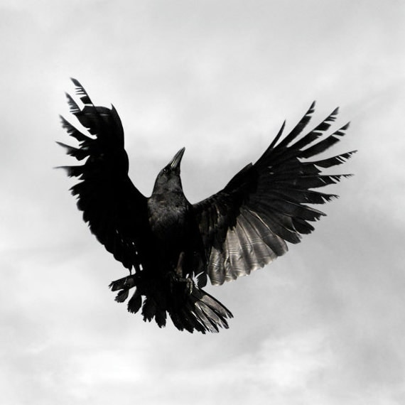 Card American Crow also Tot 6 Eagle besides Raven Skull Art moreover Game Of Thrones Dragons Are Actually Wyverns together with Educationraptors Unit. on raven wingspan