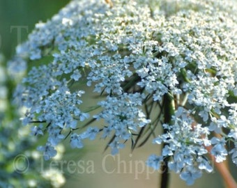 Flower Photography, Queen Anne's Lace Photo, Art Floral Photography, Natural Gentle White Bokeh Macro Garden Wall Art Botanical Home decor