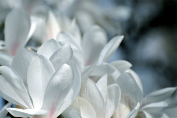 Fine Art Photography, Cool Magnolias, White with a hint of Pink, Floral Home Decor, 16x24,12x18, 8 x 12 Print, Spring Flowers, Surreal Bokeh
