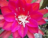 Dark Passion Orchid Cactus Cutting