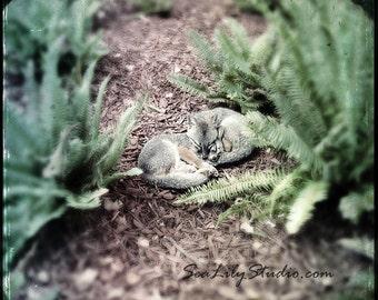 Sleeping Foxes : gray fox photo wildlife photography nature baby animal facebook fox children home decor 8x8 10x10 12x12 16x16