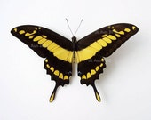 Real Butterfly Specimen, Unmounted, Ready Spread, The King Swallowtail