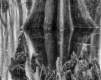 Cypress Tree in Missouri - Fine Art Photograph 5x7 8x10 11x14 16x20 24x30