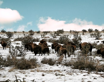 Bison in the snow no 1 FineArt 8x10 photograph