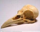 Crow Bird Skull Resin Plastic Replica- Corvus brachyrhynchos- natural patina