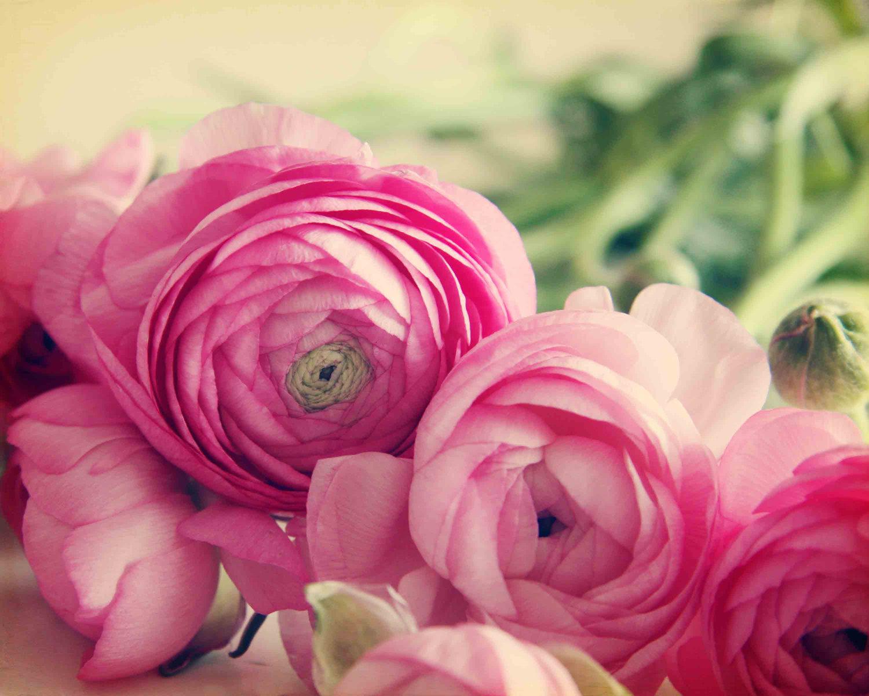 spring pink ranunculus flowers pink flower photo by trekkerjen