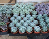 """60 Gorgeous Rosette ONLY Succulents in their 4"""" plastic containers wedding shower FAVORS party gifts plants succulent"""