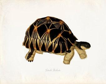 Vintage Turtle on Antique Paper Print 8x10 P281
