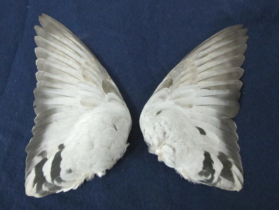 Pair Grey Rock Dove  Fanned Out Dried Pigeon  Birds Wings Feathers Art Craft Taxidermy