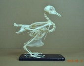 Real pigeon skeletons,dove,free shipping to everywhere