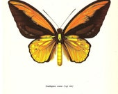 BUTTERFLY PRINT Art Original 1965 Book Plate 54 Beautiful Large Wallace Butterfly Yellow Orange Beautiful Garden Nature home decor