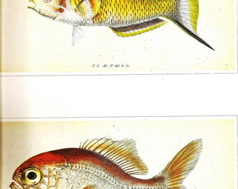 Vintage FISH PRINT 1990 Art Book Plate 78 Antique Painted in 1785 Ornate Wrasse and Rosy Soldierfish Fish to Frame Wall Hanging Picture