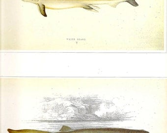 Vintage FISH PRINT 1990 Art Book Plate 84 Antique Painted in 1785 Shark Beautiful Fish to Frame Wall Nature Hanging Picture