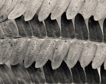 autumn fern detail, 8x10 fine art black & white photograph, nature