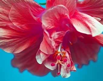 """Red hibiscus on blue background, notecard, 4.25""""x5.5"""", blank"""