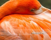 Flamingo Fine Art Photo, 8x10 Flamingo Photographic Print, Wall Decor, Bashful, Bird Photo, Fine Art Photograph
