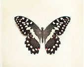 """Butterfly Photography - butterfly photo wings print brown cream white nature modern wall art - 10x10, 8x8 Photograph, """"Citrus Swallowtail"""""""