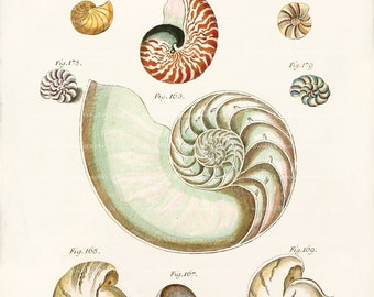 Antique Nautilus Shell Art Print - Nautilus Shells 2 Wall Decor - Natural History