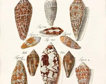 Antique Shell Art Print - Cone Shells Wall Decor - Natural History