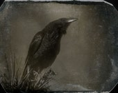 Raven Bird Photo Fine Art 5 x 6.5 Photographic print