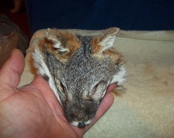 real animal fur Tanned american gray  fox face head parts