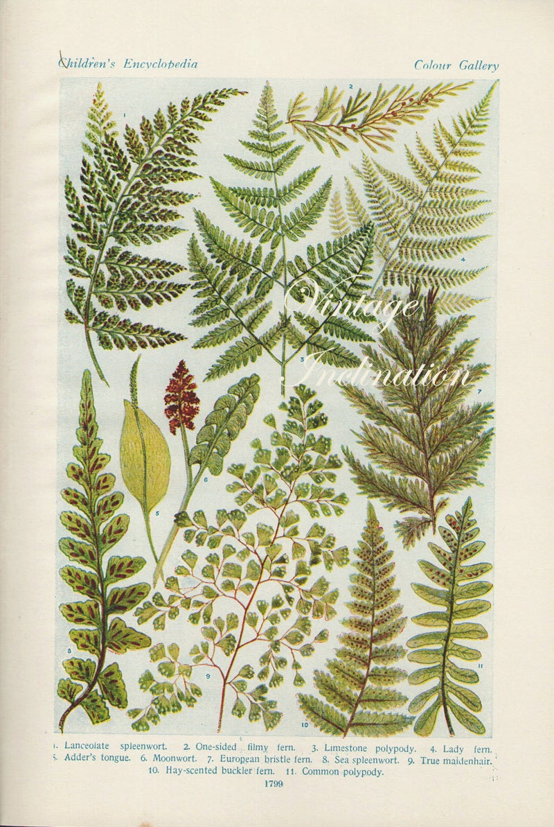 Vintage 1920 Antique Botany FERN prints 45 Fern Species coloured book plates & Vintage 1920 Antique Botany FERN prints 45 Fern Species coloured ...