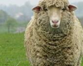 Rustic, Sheep, Ewe, French, Country, Farmhouse, Nursery, Childrens, Home Decor, Original Fine Art Photograph, 20x24
